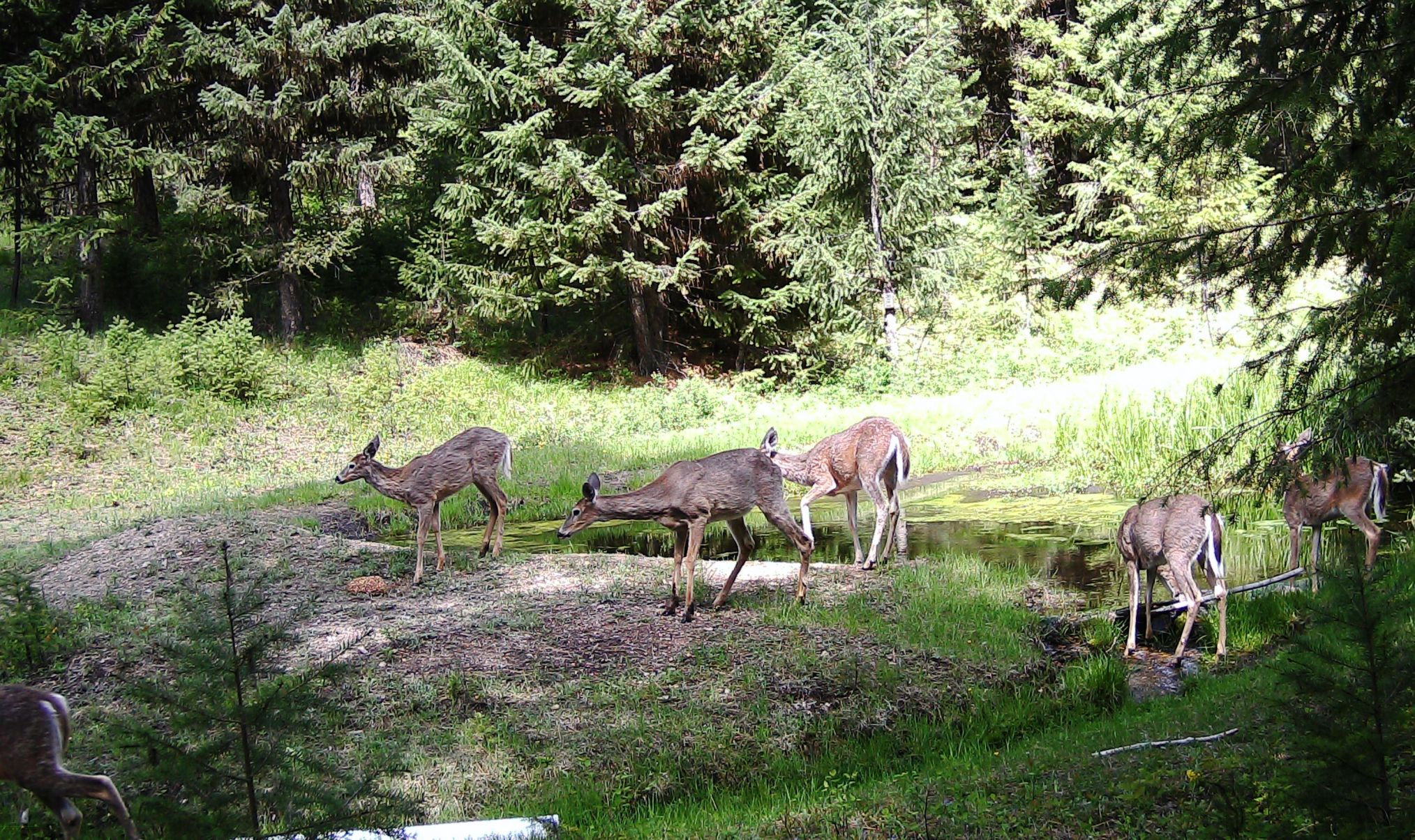 2016-05-13 - 6 Deer at the SR2 Pond