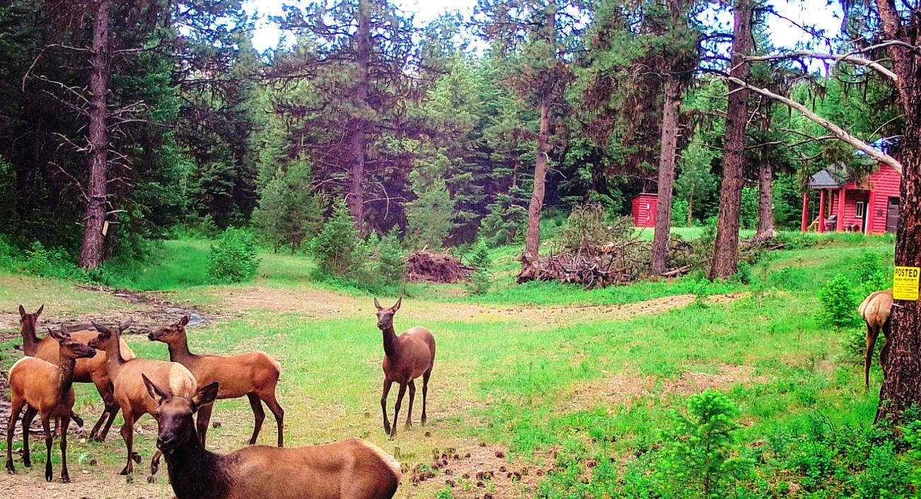 2018-06-14 Elk at SR2 Shed.jpg