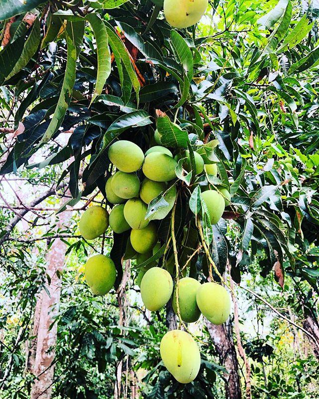 Fruit of love and abundance. #mangos #laguajira #sui2020
