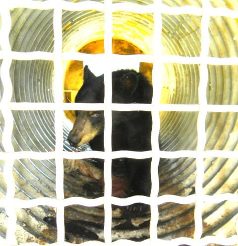 Bear captured