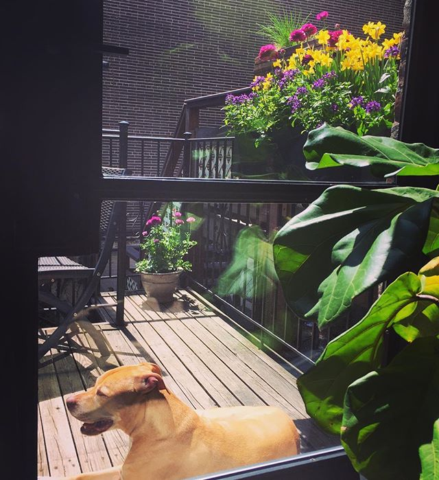 Boomer's favorite spot  #clintonhill #brooklyn #dogheaven #brownstone #brownstoner #spring #dogsofinstgram