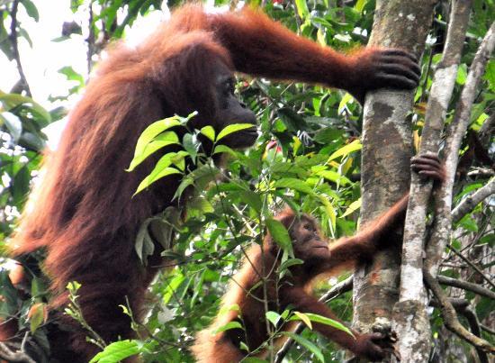 Lovely orangutan bukit lawang.jpg