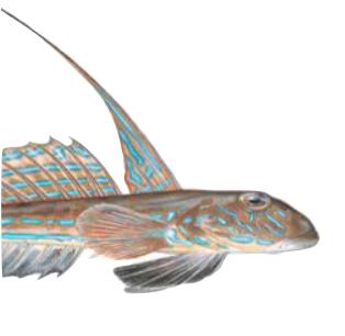 Floyfiskur hevur yvirbit, tí hann tekur føði á botni.