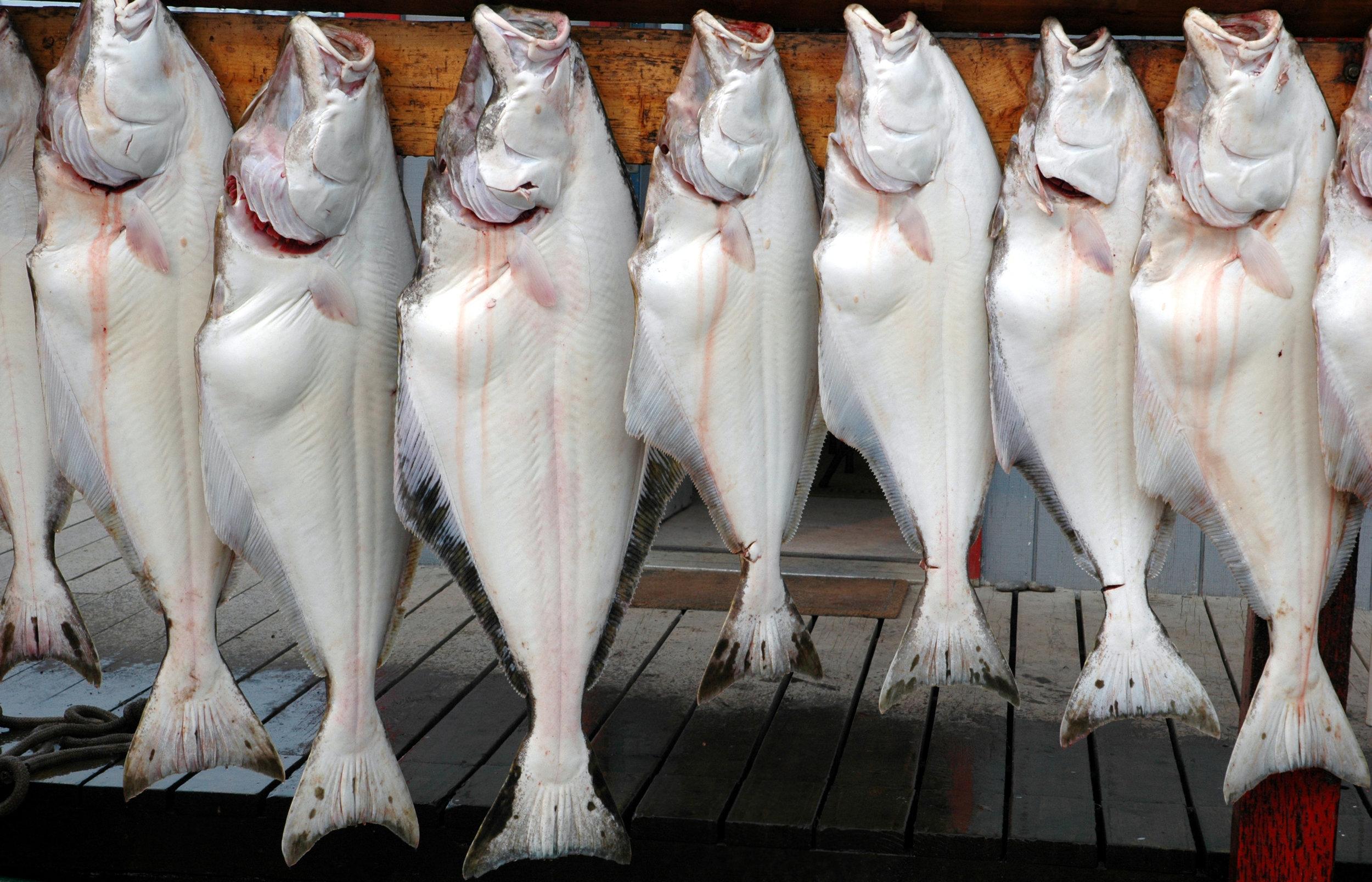 Kalvi er dýrur fiskur, og tí verður nógv roynt eftir honum.Mynd: Savnsmynd / iStockphoto