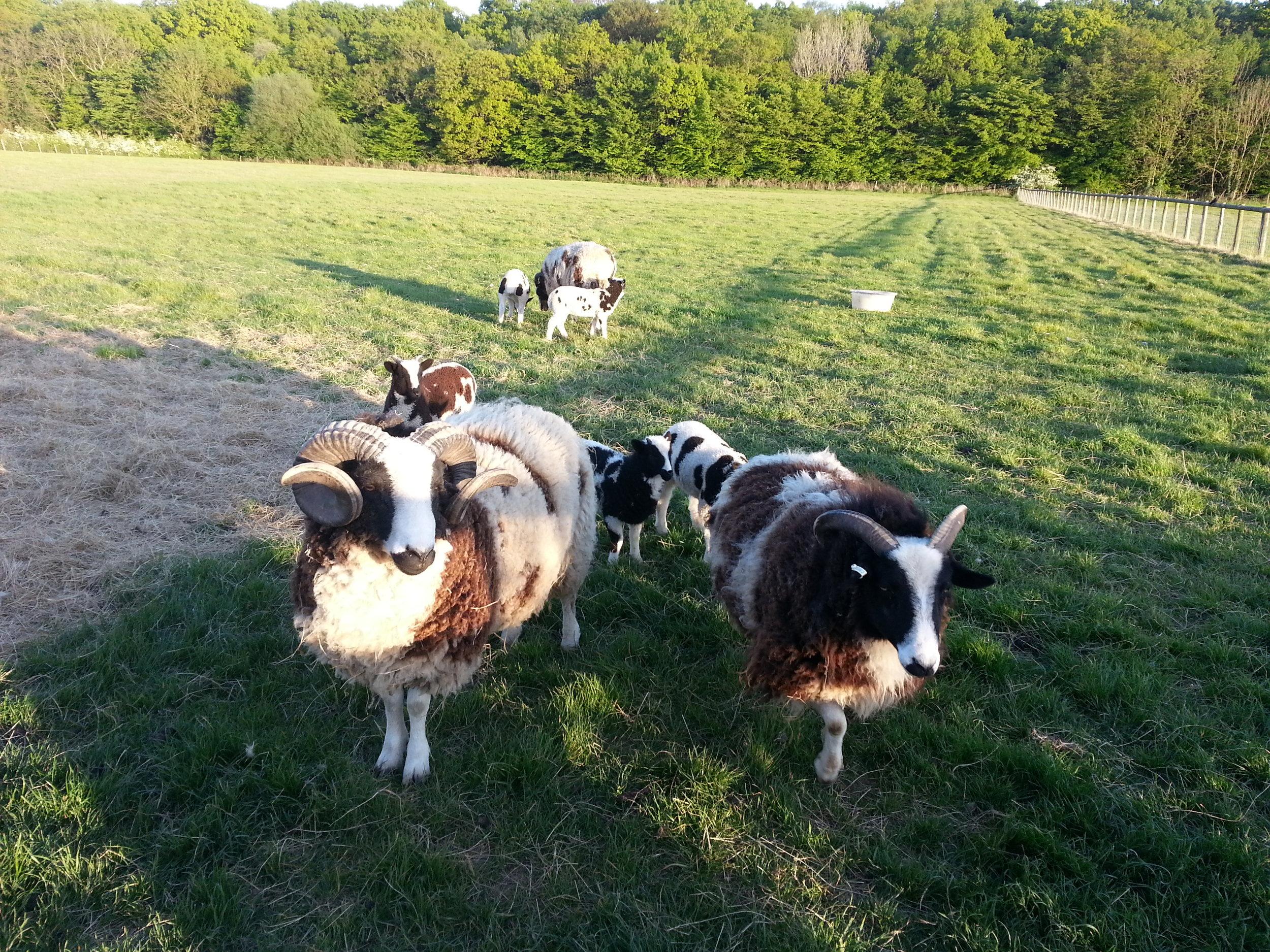 Jacob Ram and his flock.jpg