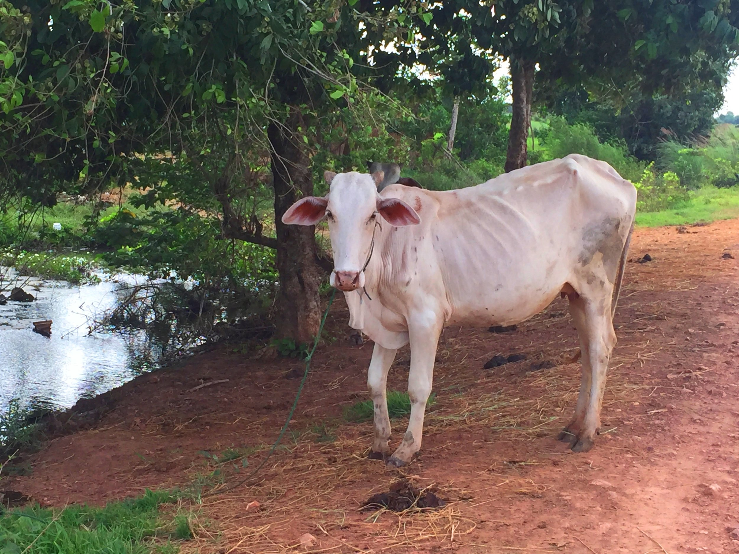 The cow in Battambang Countryside