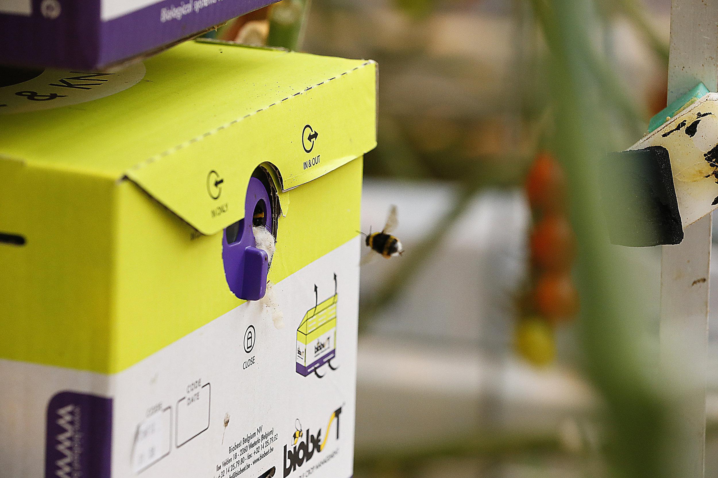 _L0Q5674-humla-pollinering.jpg