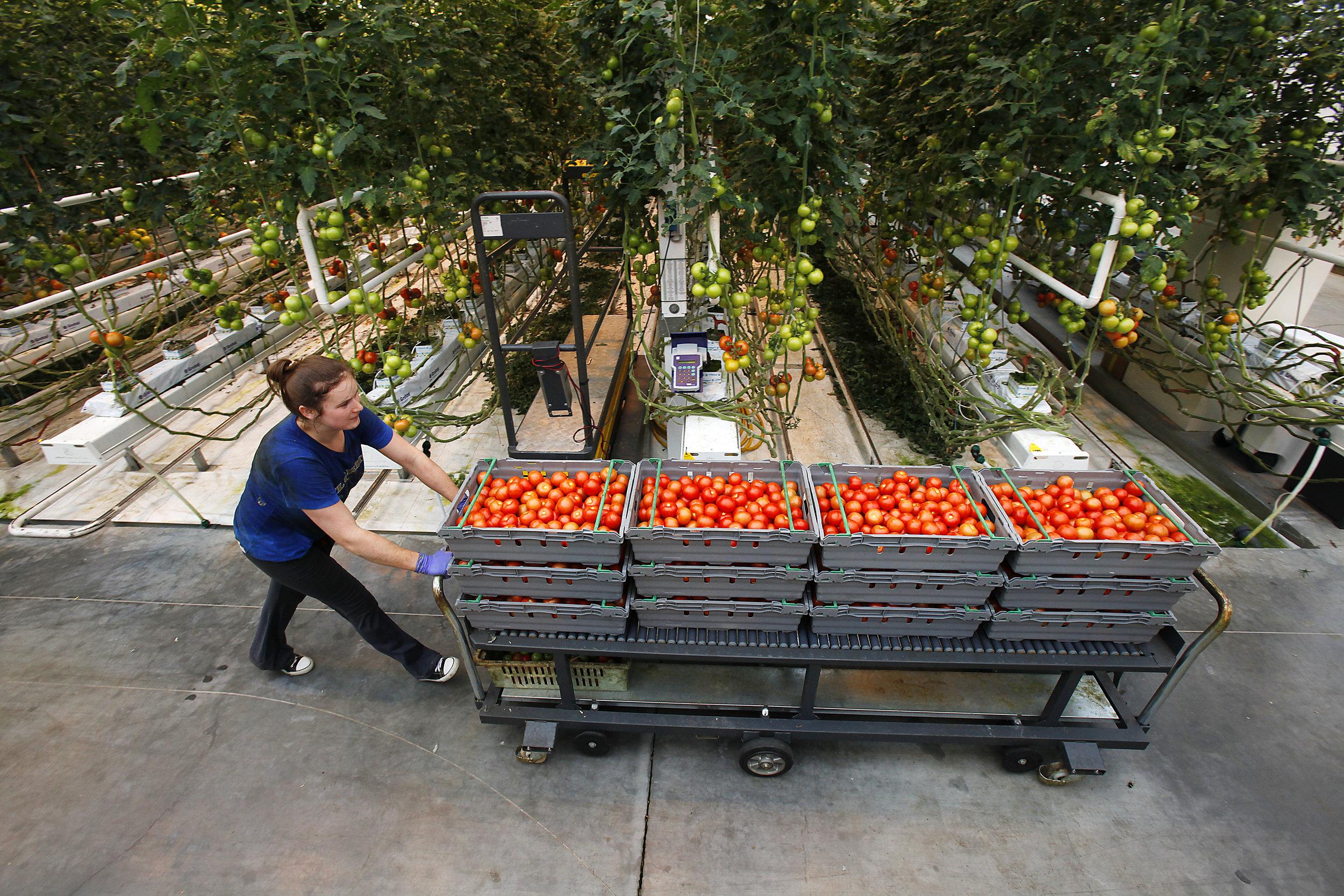 _MG_7330-BRA-tomater.jpg