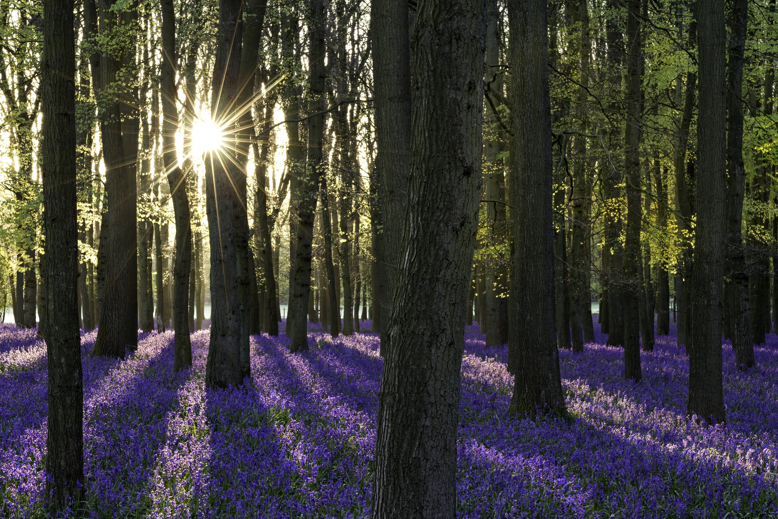Welcome to Steven's gallery - BLUEBELLS AT SUNSET (Ashridge Estate)