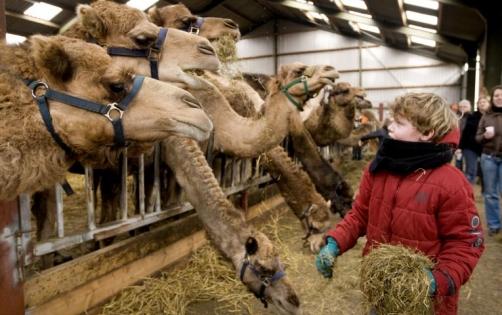 kamelenmelkerij.jpg