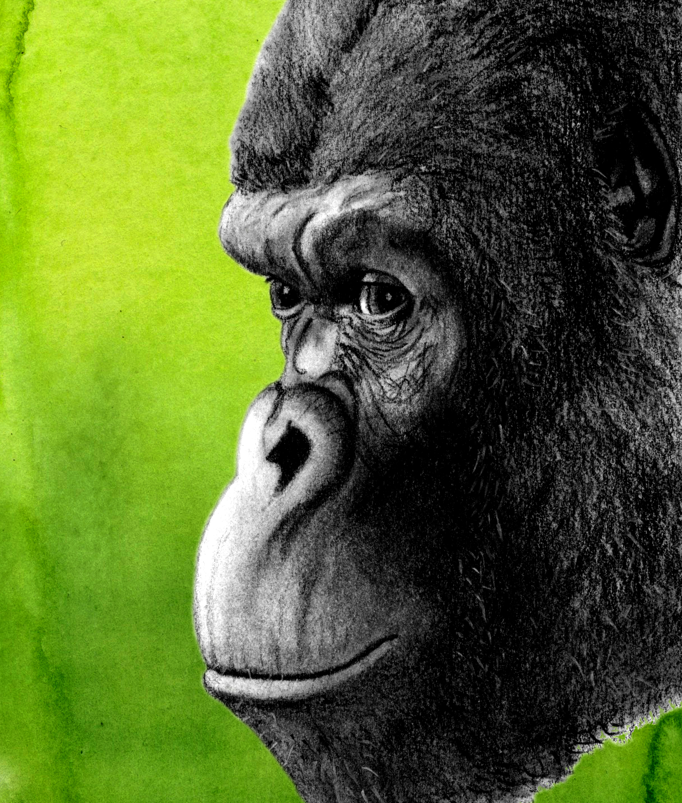 gorilla_profile.jpeg