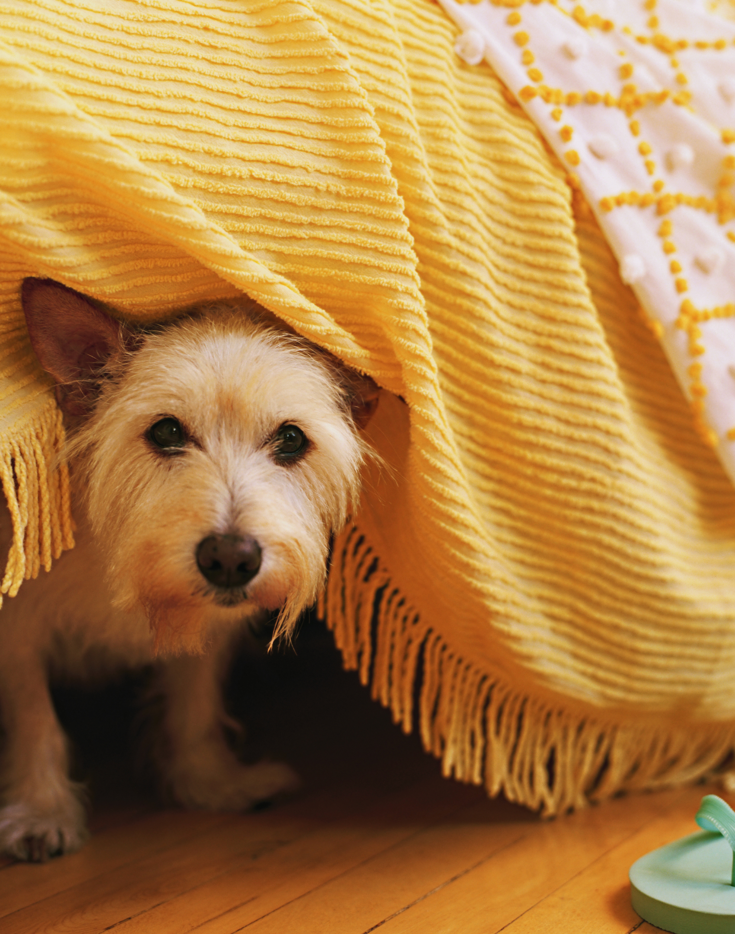 wheaten terrier.jpg