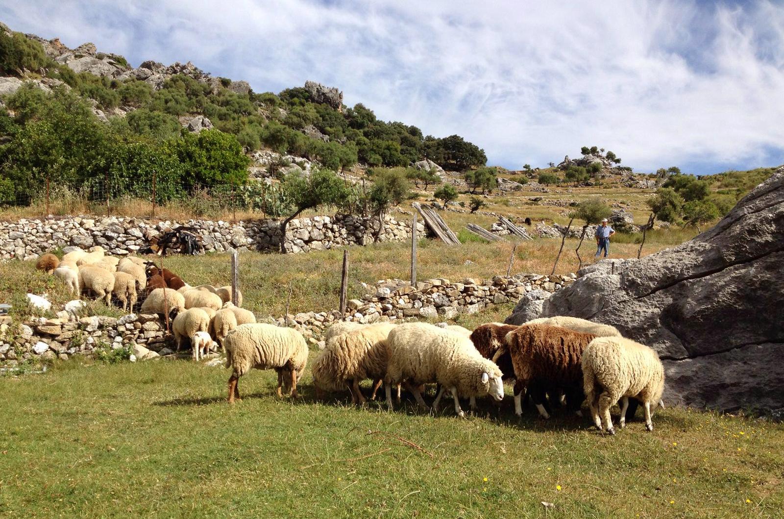 ovejas-pastando.jpg