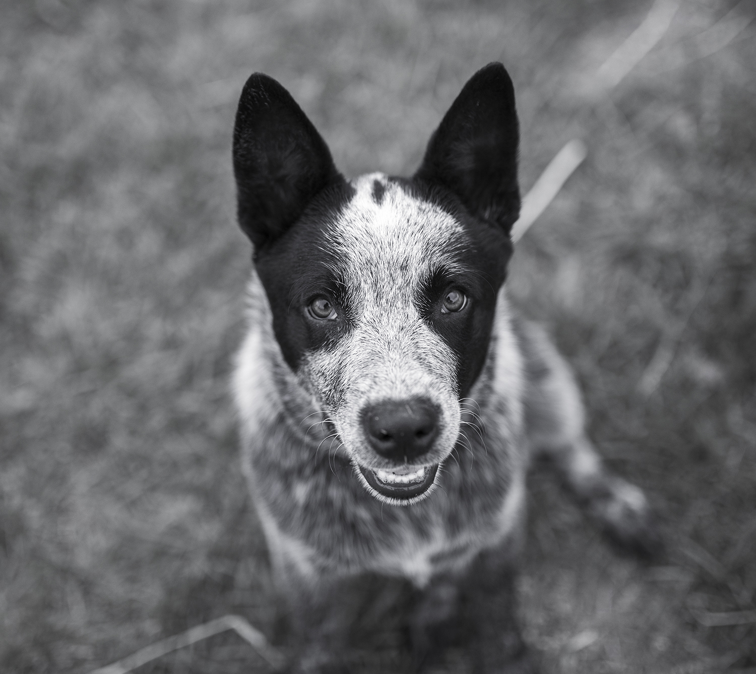 Pet Portrait, Vegas the Blue Heeler