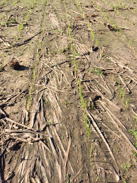 young rice plants peeking through soil covered in last year's straw -- no tilling