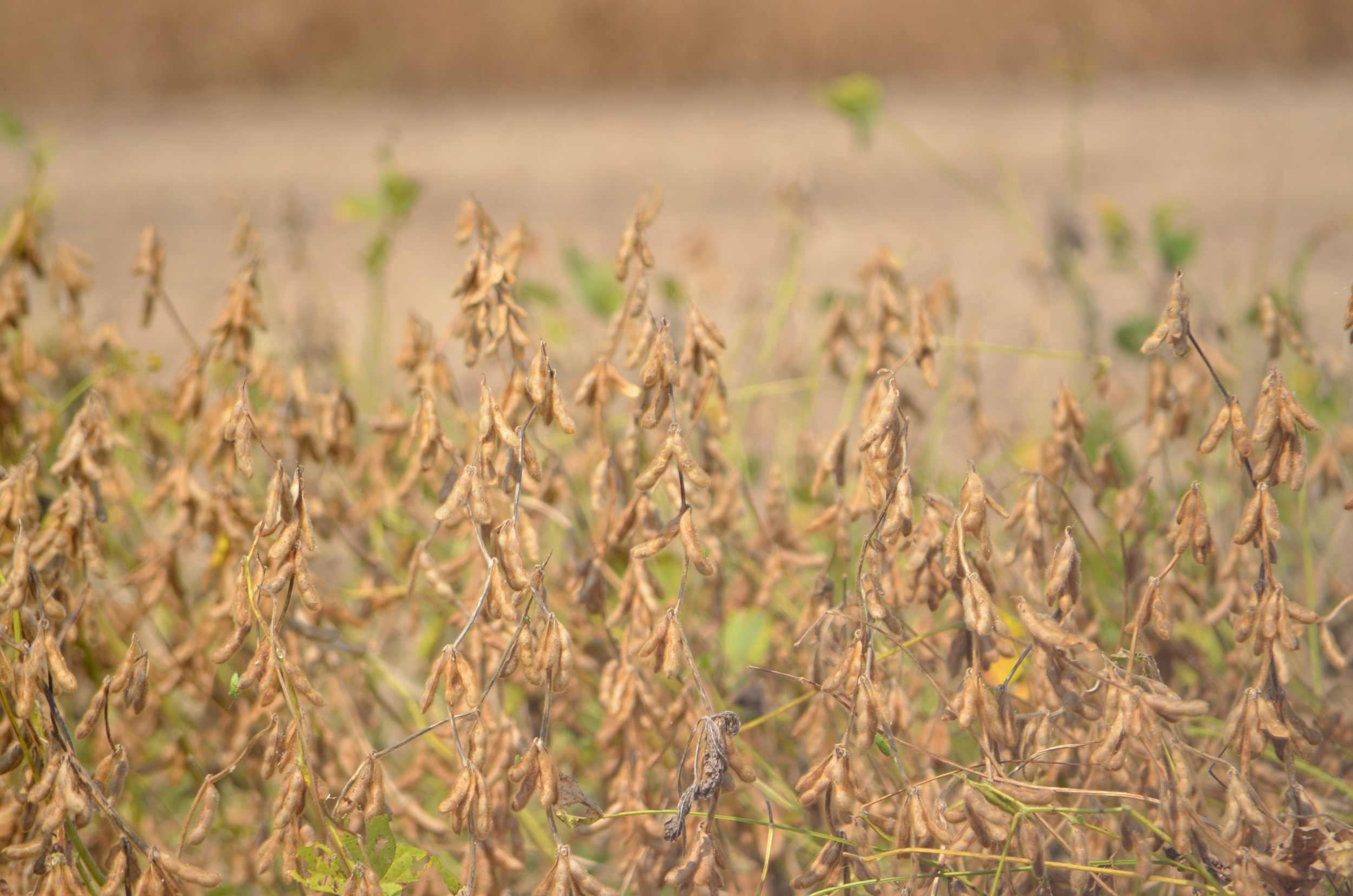 a field of GMO soybeans ready to harvest
