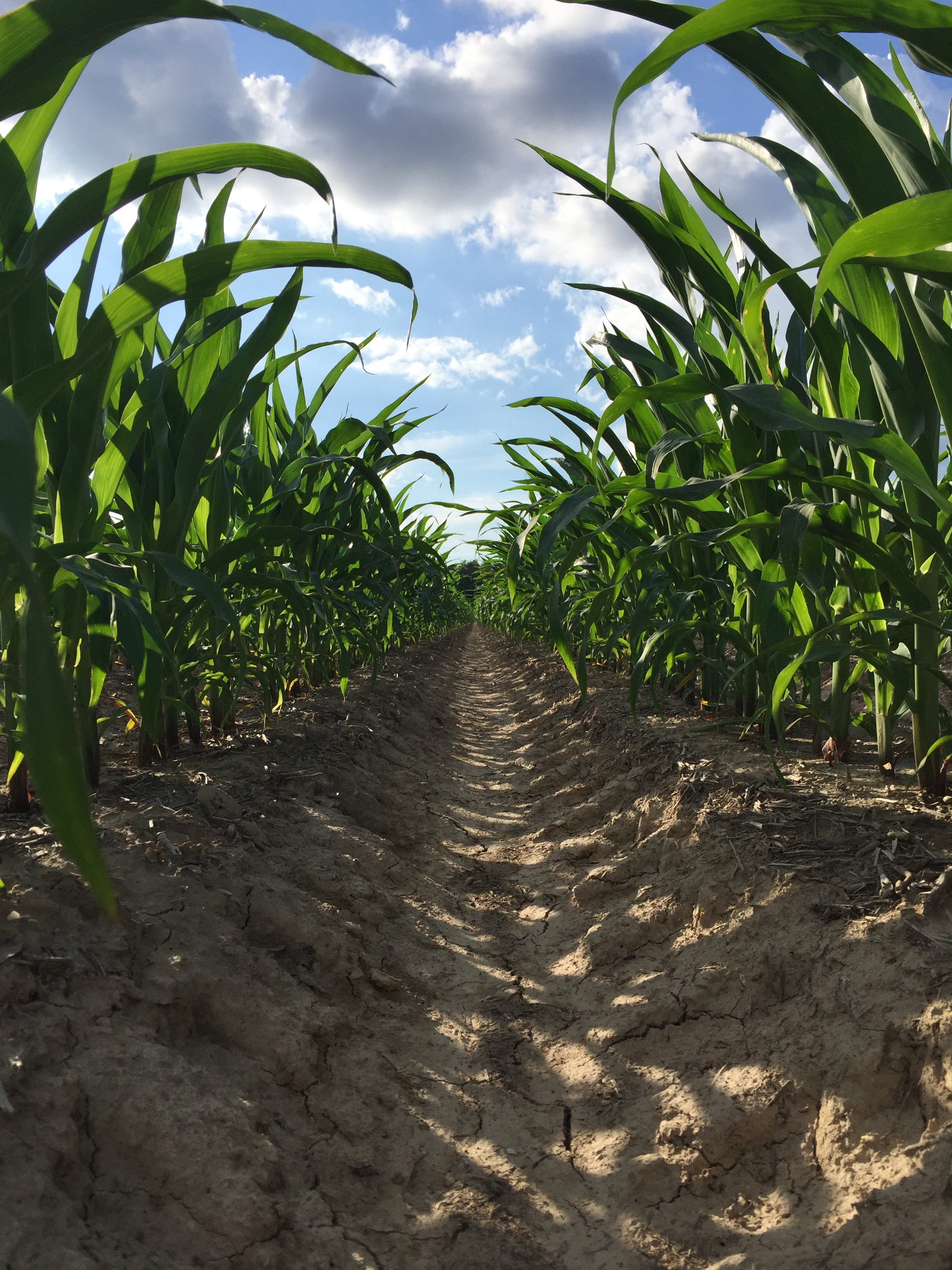 a maturing field of genetically modified corn          photo credit:  Morgan Baugh