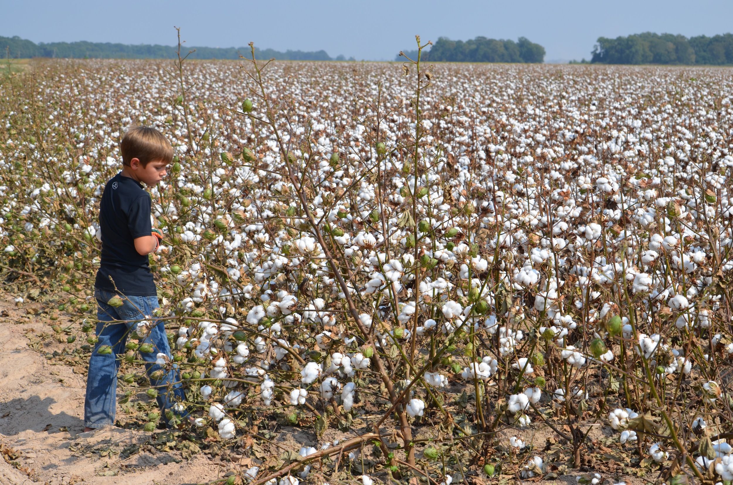 inspecting cotton that's ready to harvest