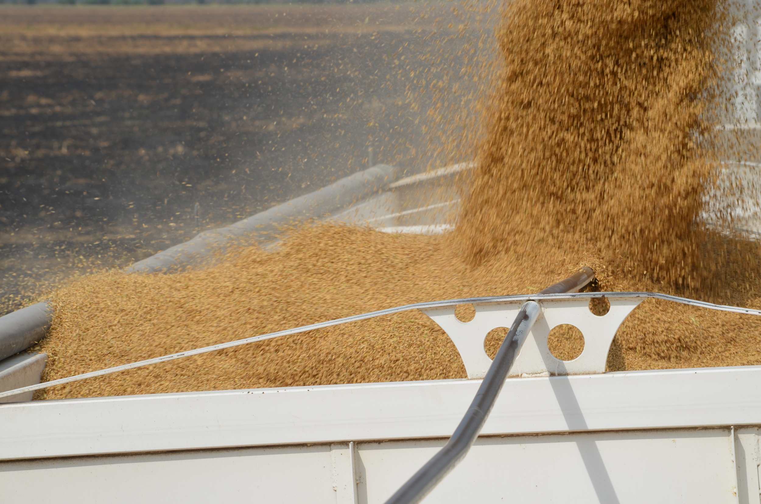 rice harvest: coming out of the field being transferred into a hauling truck