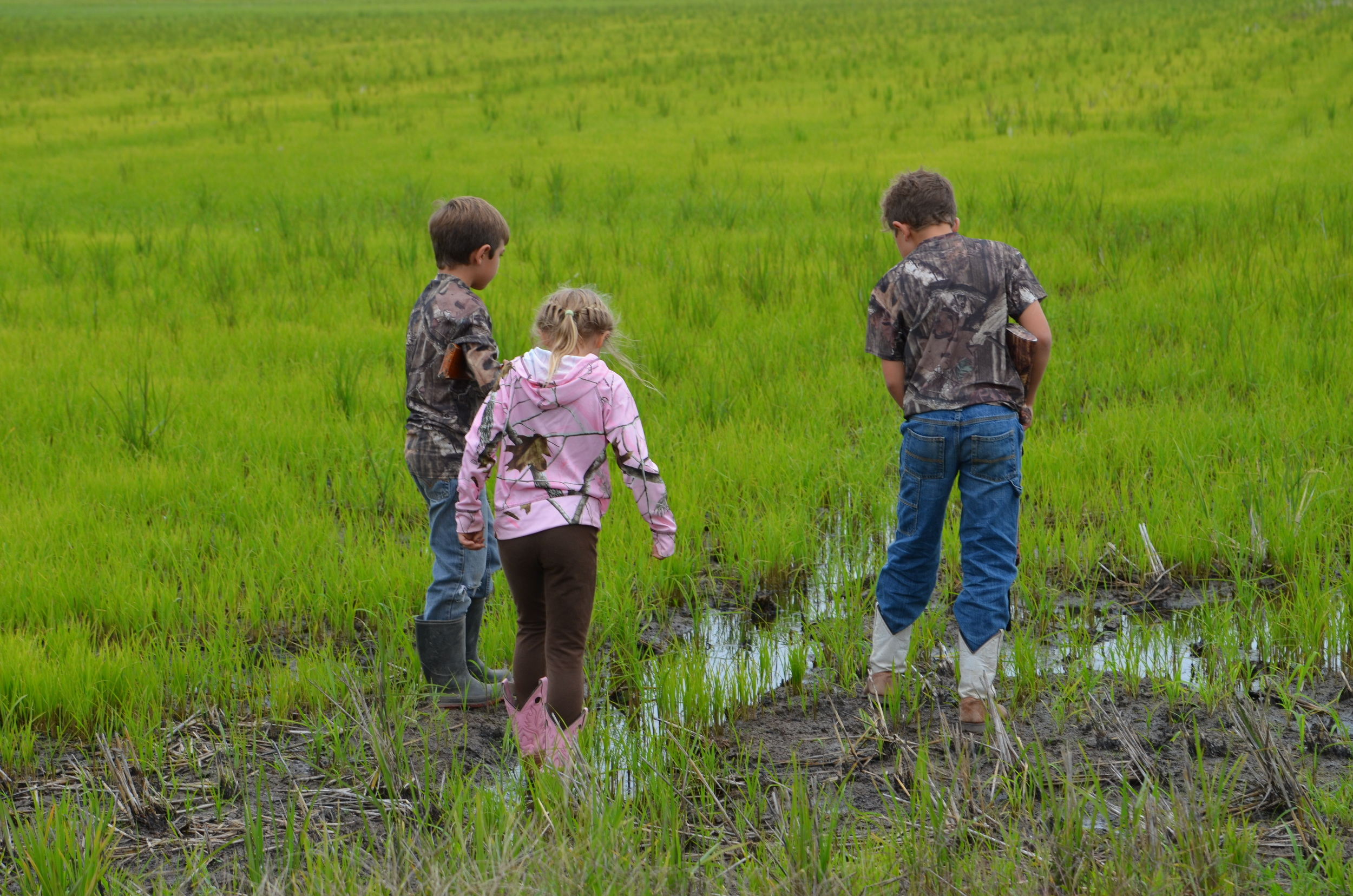my kids walking in a ratoon rice crop
