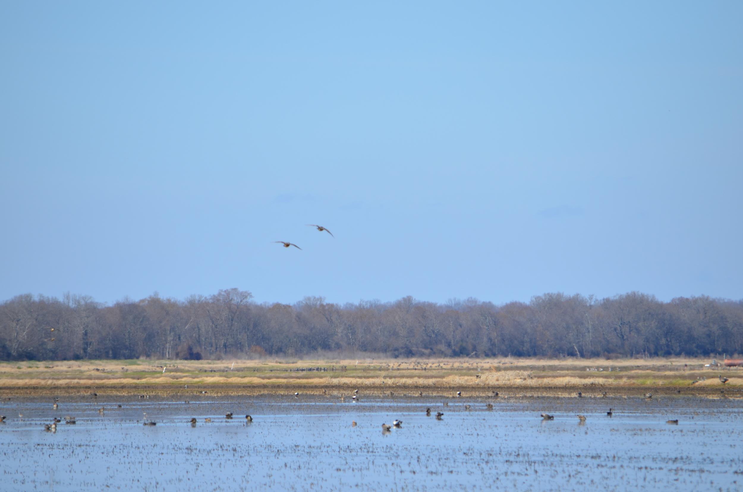 ducks enjoying a flooded rice field in the winter