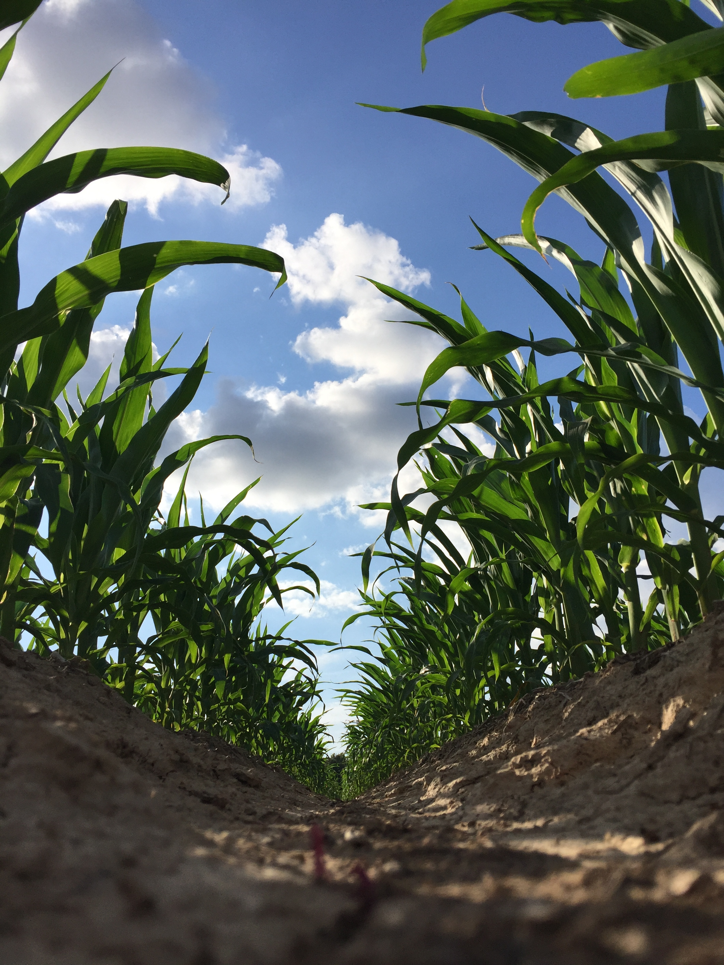 a congenitally grown corn crop   photo credit:  Morgan Baugh