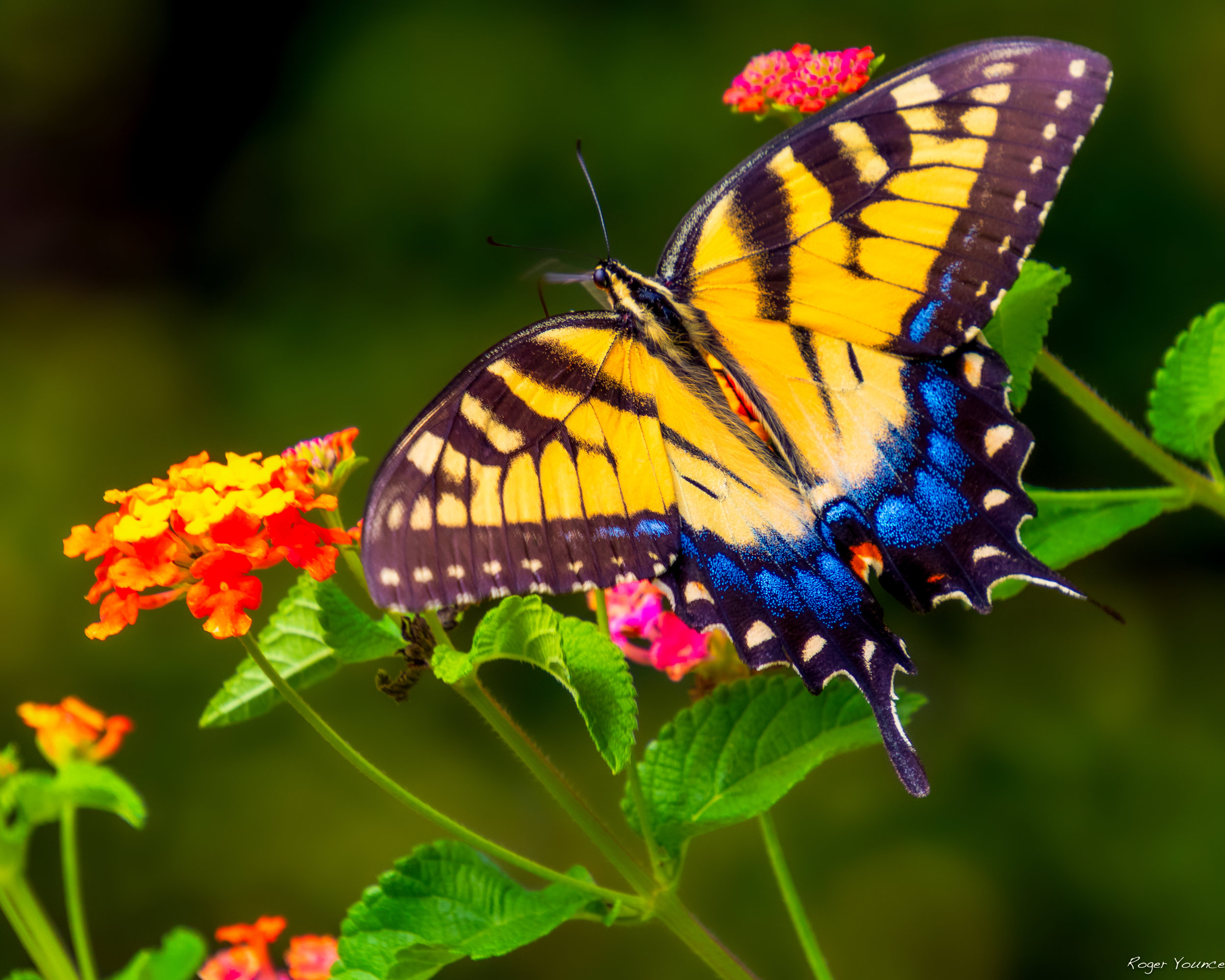 butterfly-metal-print-nature-color-photo-photography-roger-younce-northcarolina