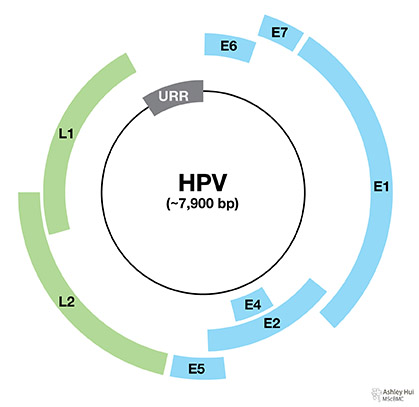 """Figure caption: """"HPV genome organization: HPV genome is a double-stranded circular genome of around 7900 bp. It is divided into early, late and upper regulatory regions."""""""