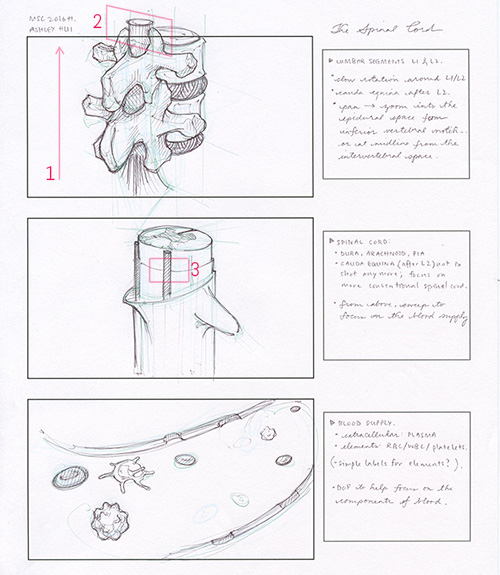 Storyboard: quick hand-drawn storyboard for the 3D animation showing three levels of magnification and an exploration into camera movement. First, the viewer is oriented and introduced to the lumbar spine; then, the camera 'zooms' into the spinal cord; and then again into the blood vessel. The last frame captures the components of blood.