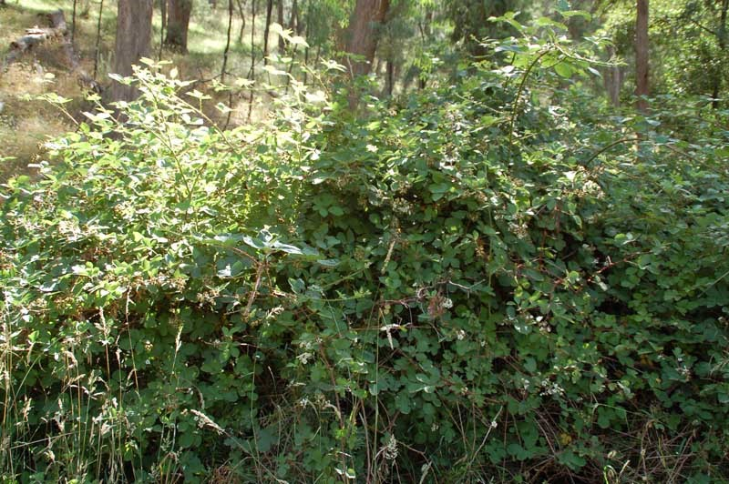 Typical Blackberry Bush