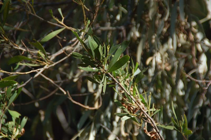 Black Wattle Tree branch