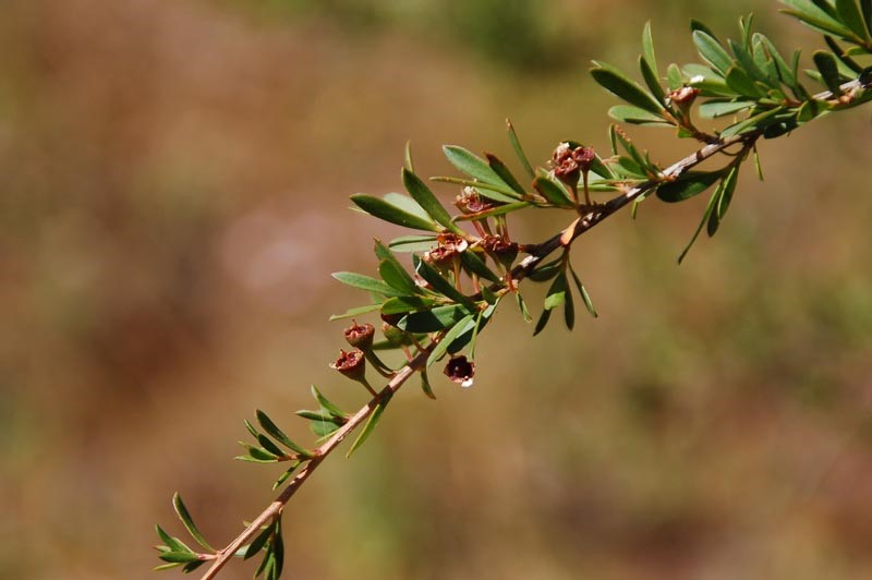 Tea Tree Branch