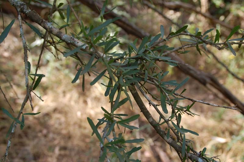 Prickly Coprosma Branch