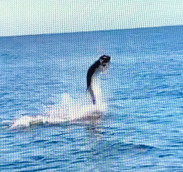 This was a monster of a Tarpon, Rick Toste fought it for 1 hour and 45 minutes. Screen shot from video on computer made it grainy.