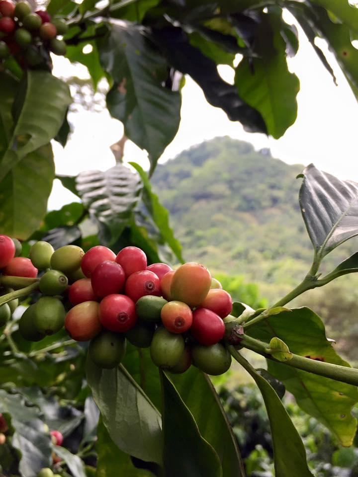 Cafetal con volcan.jpg
