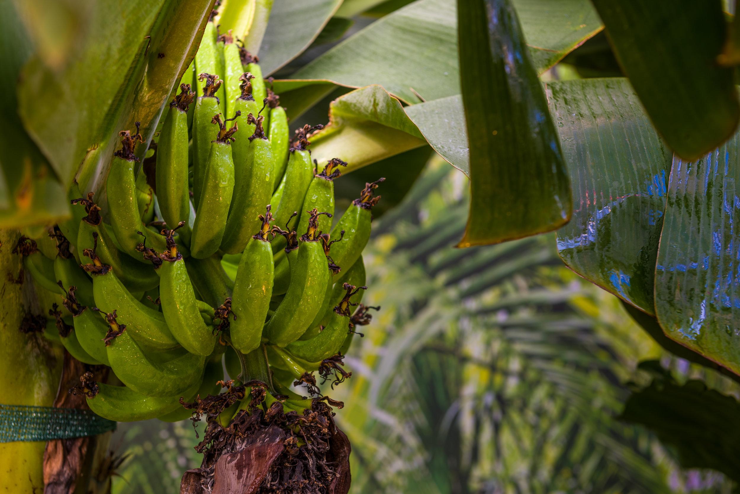 Copy of banan