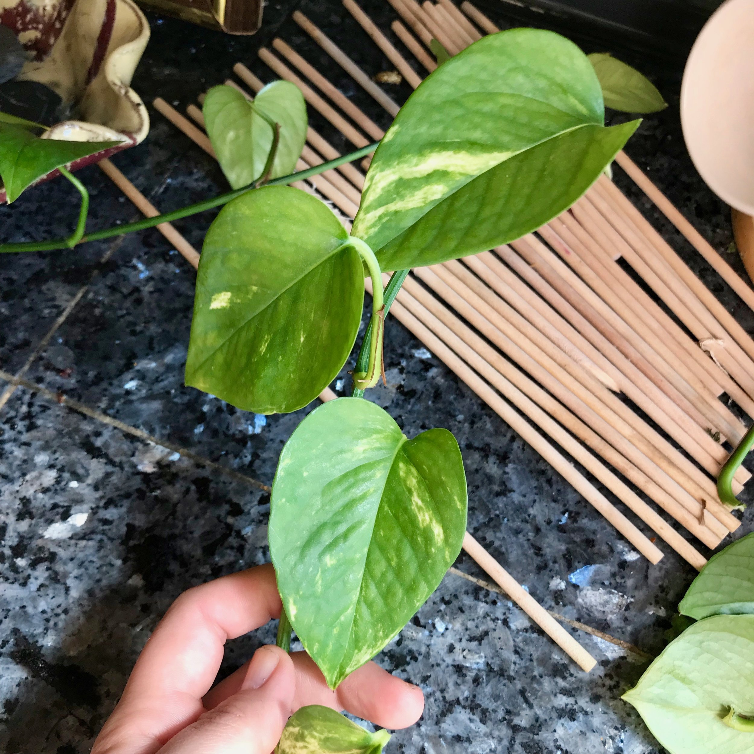 how to propagate pothos plant interior jungle.jpg