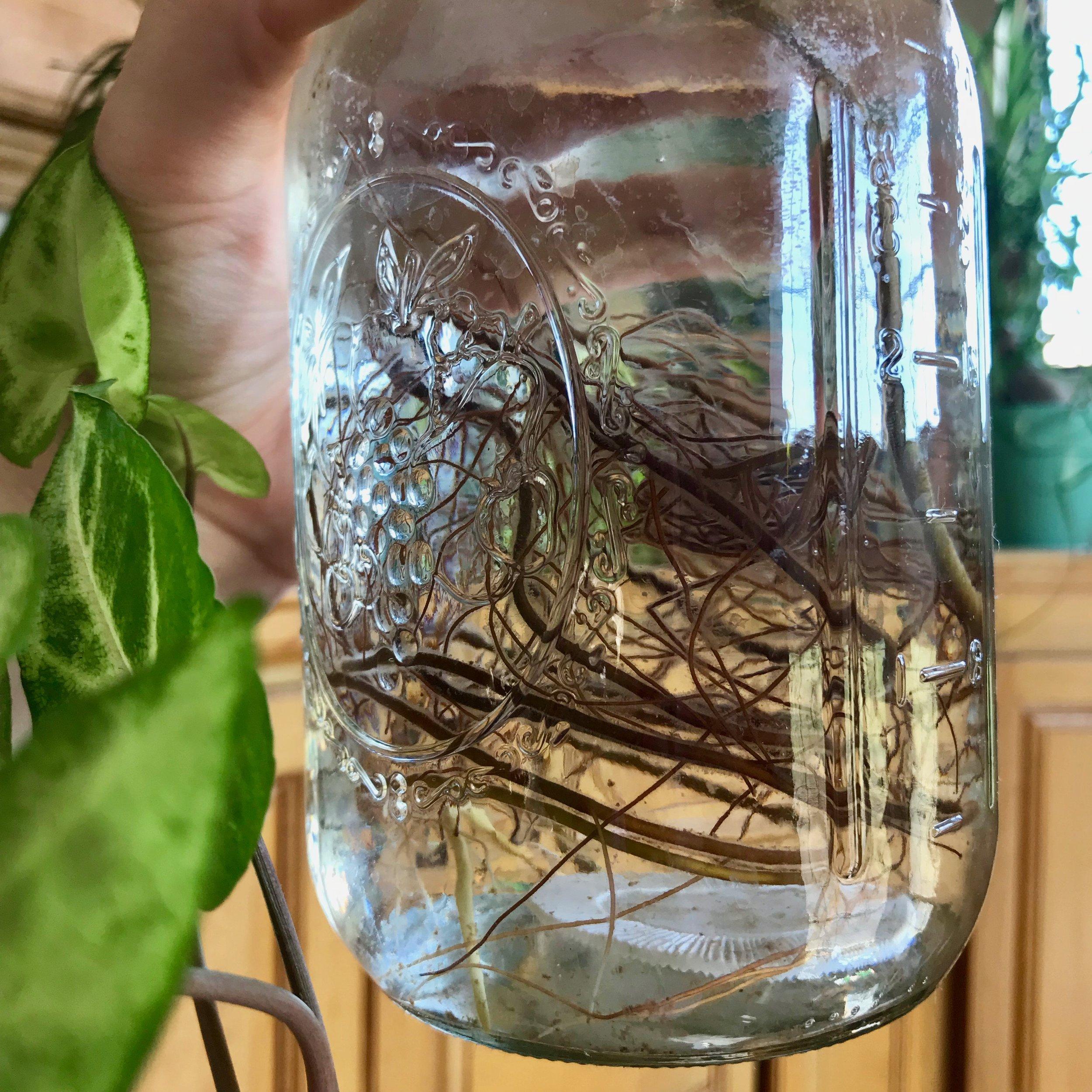 propagate pothos plant vine.jpg