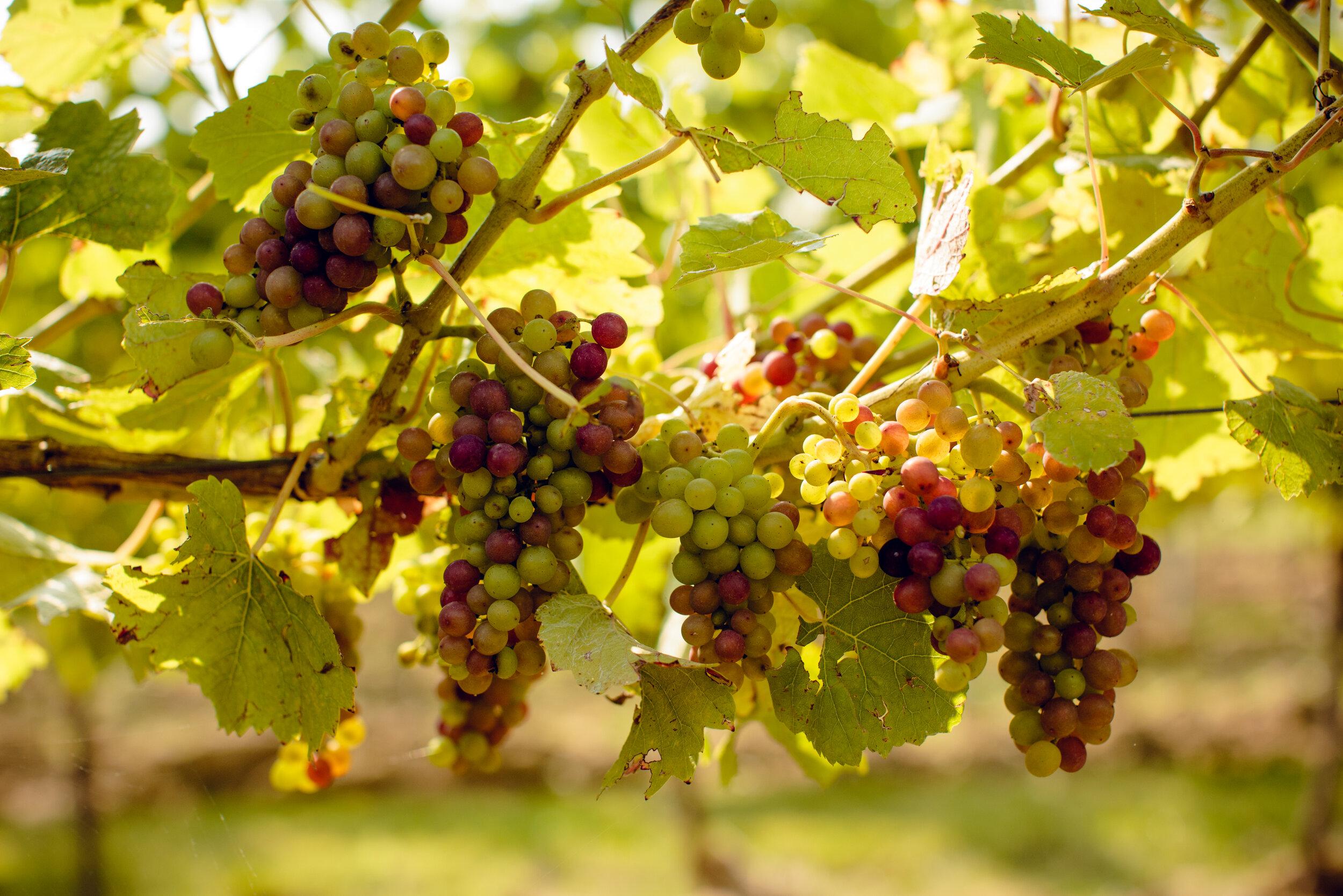 Gusbourne Vineyards 24.jpg