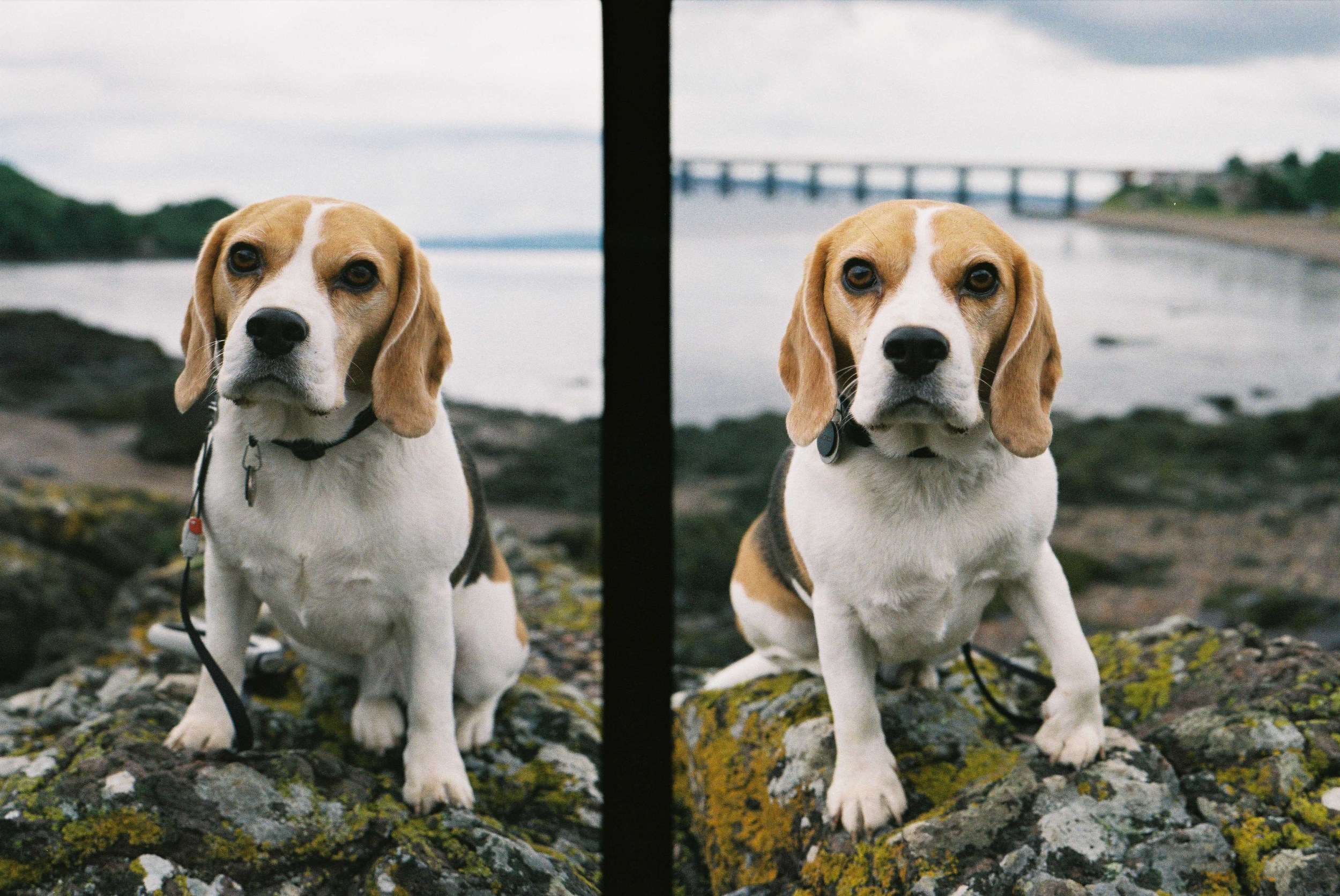 Beagle Diptych