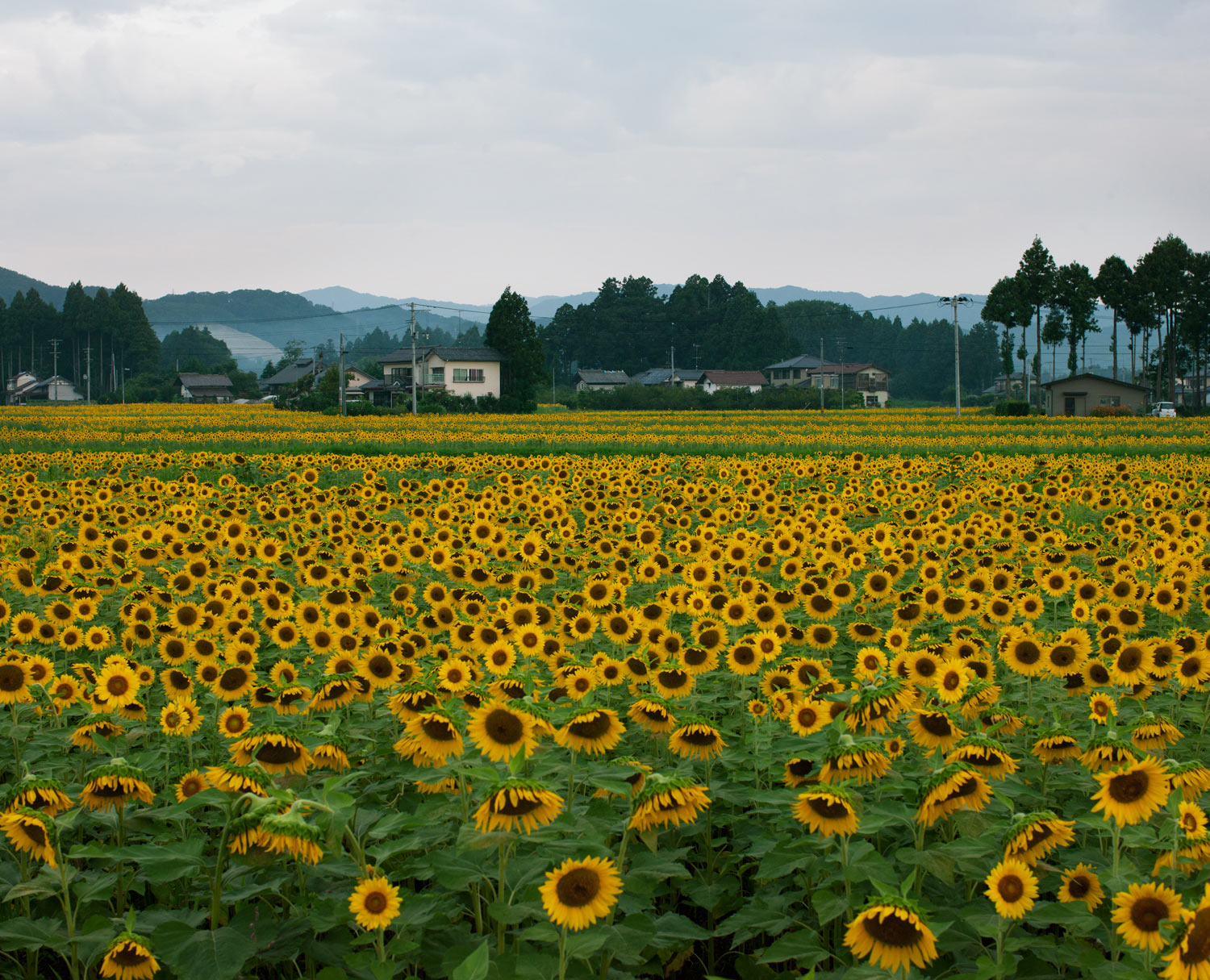 Sunflowers were planted where there used to be a rice field as an offering for the dead
