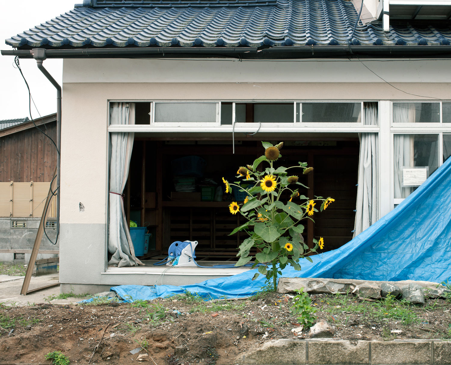 A sunflower on an early morning visit in Hisanohama