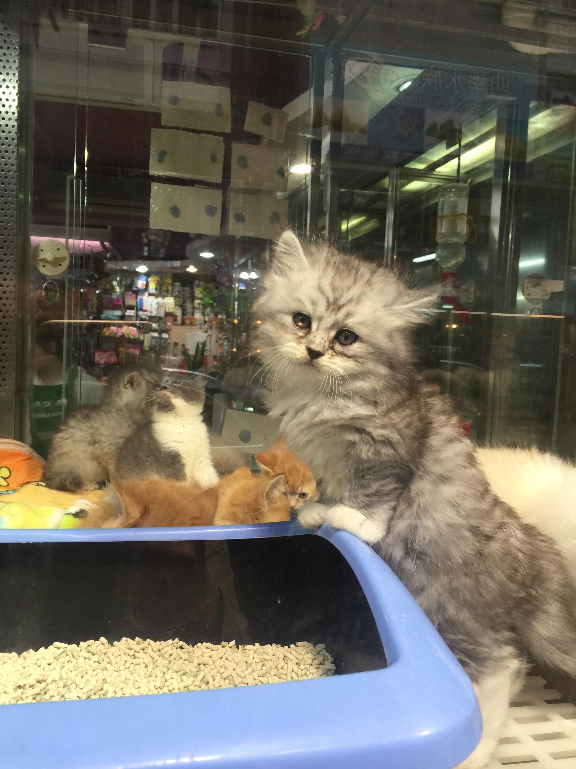 A random kitten store on Wangjiao Pet Street (near Goldfish Market)selling this adorable little kitten. He was about $3,500USD.