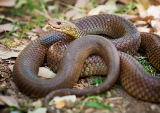mulga-snake-e1437492664121.jpg