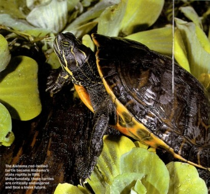 Alabamas-State-Reptile-since-1990-e1437490589179.jpg