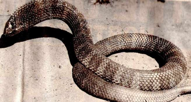 the-tiger-snake.jpg
