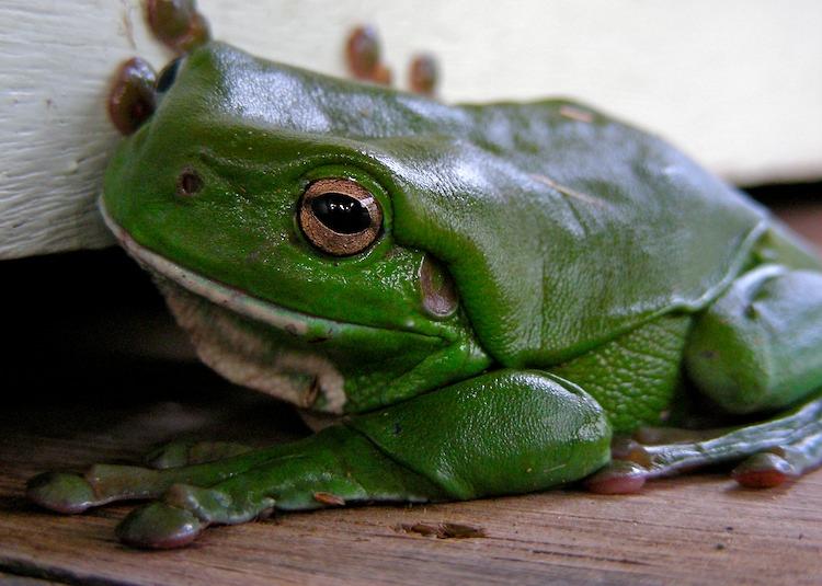 west-kunderang-frog.jpg