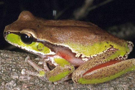 0503-JB-frog-Litoria_citropa-126.jpg