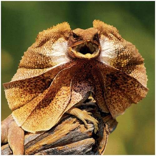Frill-necked-lizard.jpg