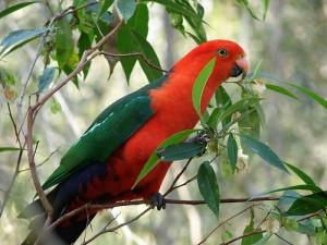 australian-king-parrot-300x2251.jpg